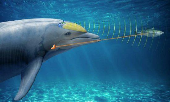 Локация дельфина