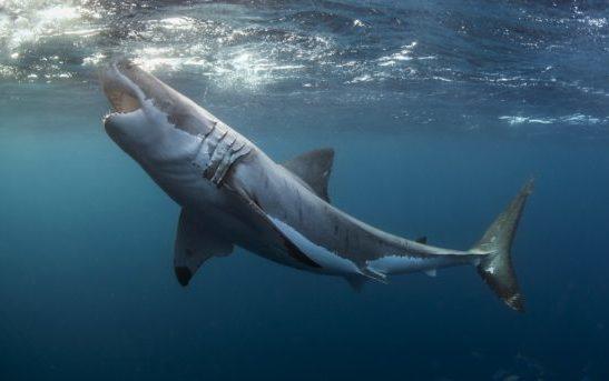 АКУЛА: чудовище обнаружено у берегов Австралии