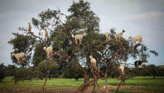 саргасовое дерево и козы